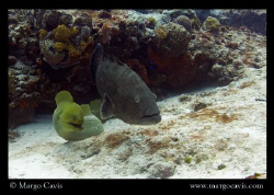 Large green eel &amp; a grouper - just hanging out. I think t... by Margo Cavis 